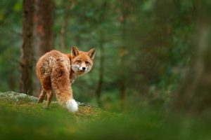 Fox in green forest cute red fox vulpes vulpes at forest with